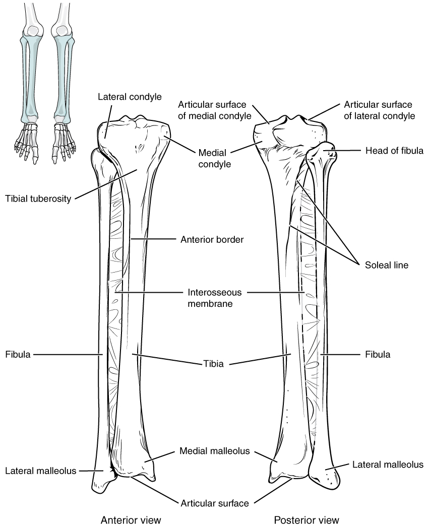 bones of the lower limb anatomy and physiology