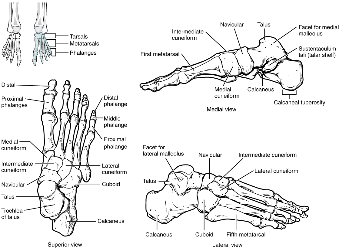 Bones of the Lower Limb · Anatomy and Physiology