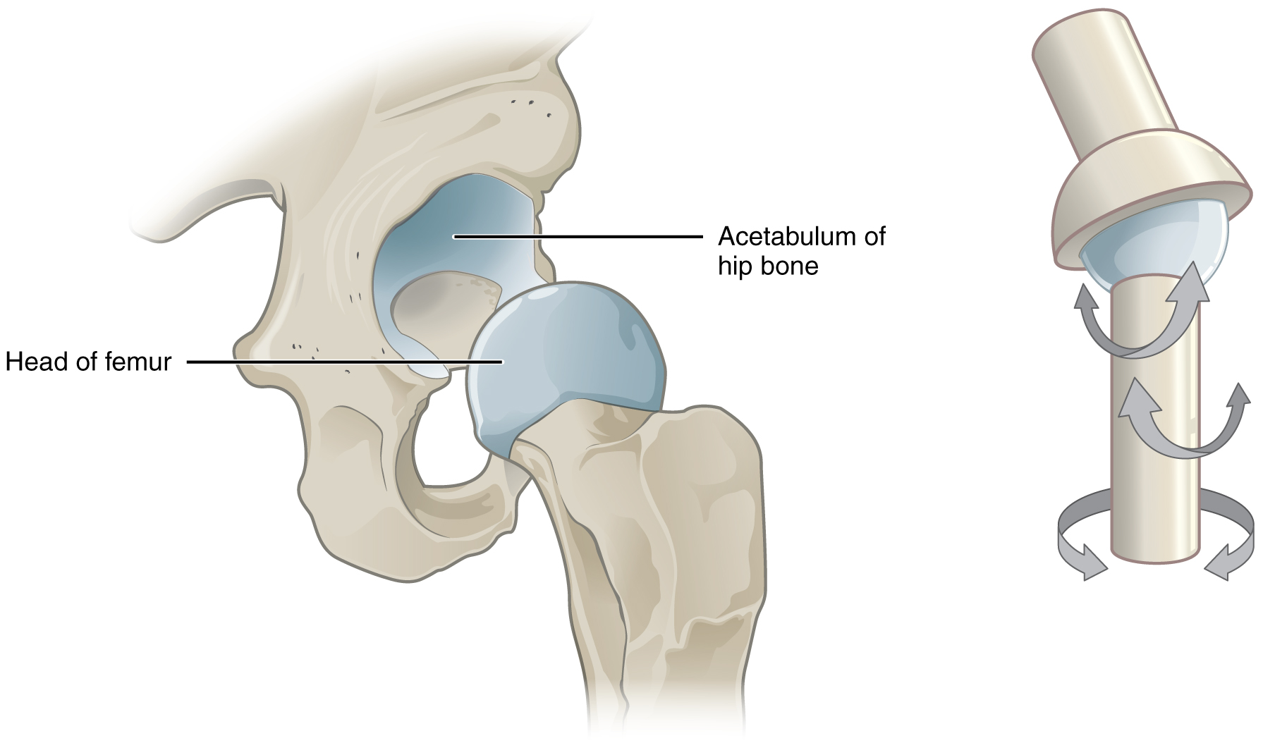 Classification of Joints · Anatomy and Physiology