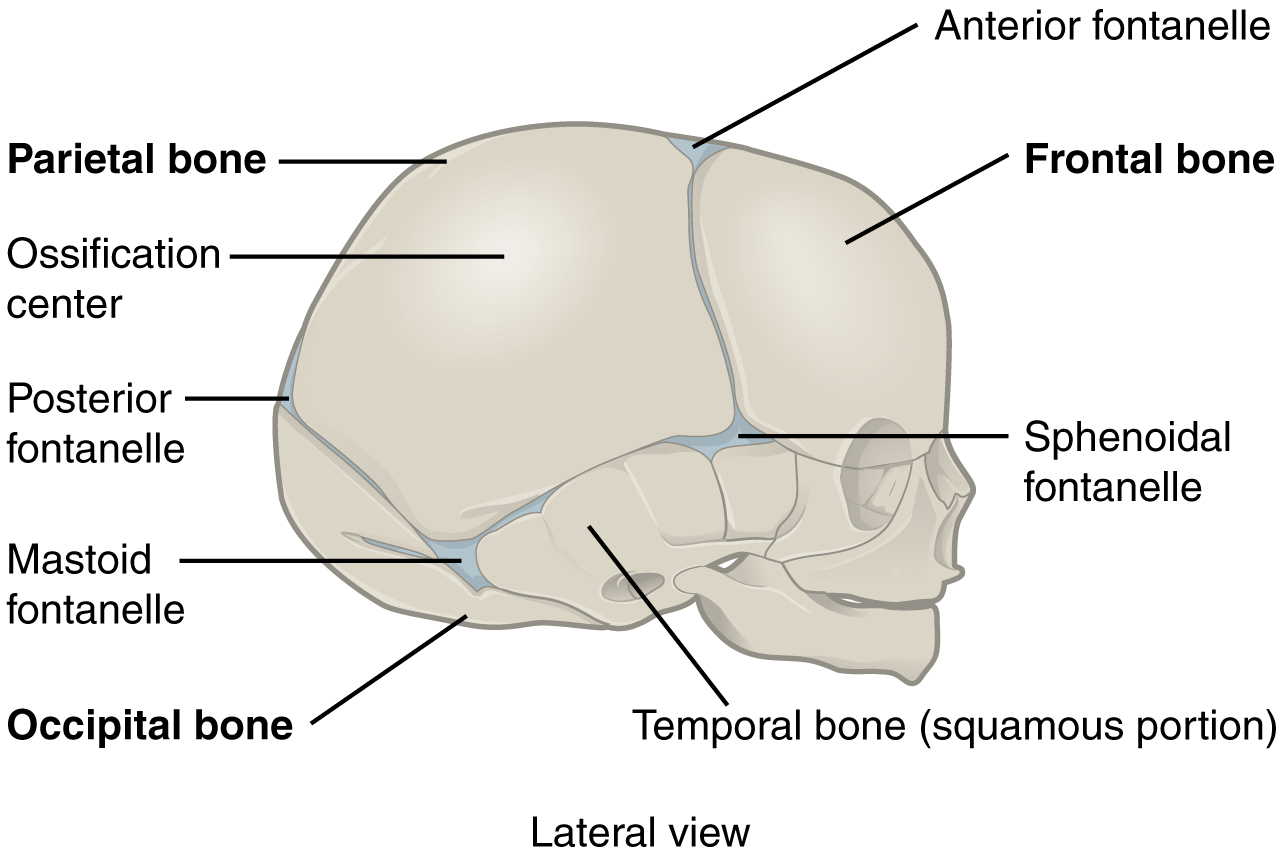skull joints are called Quotes