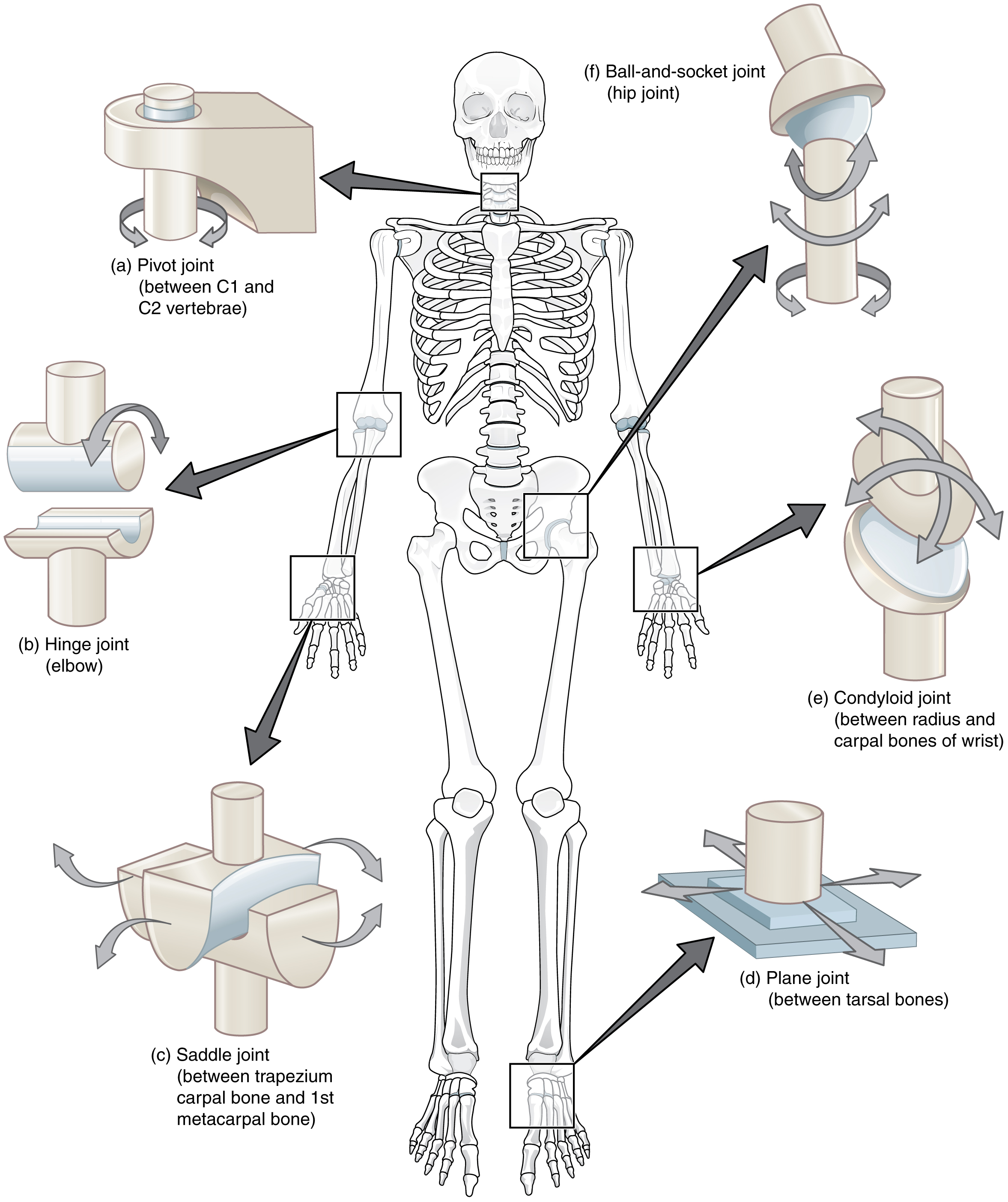 Synovial Joints · Anatomy and Physiology