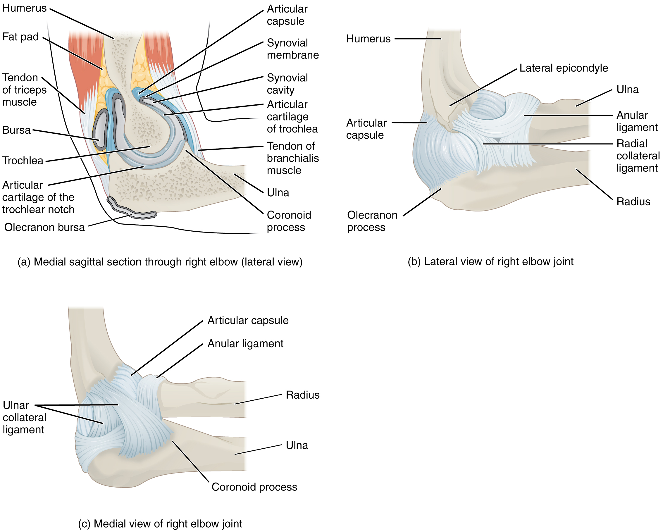 Anatomy of Selected Synovial Joints · Anatomy and Physiology