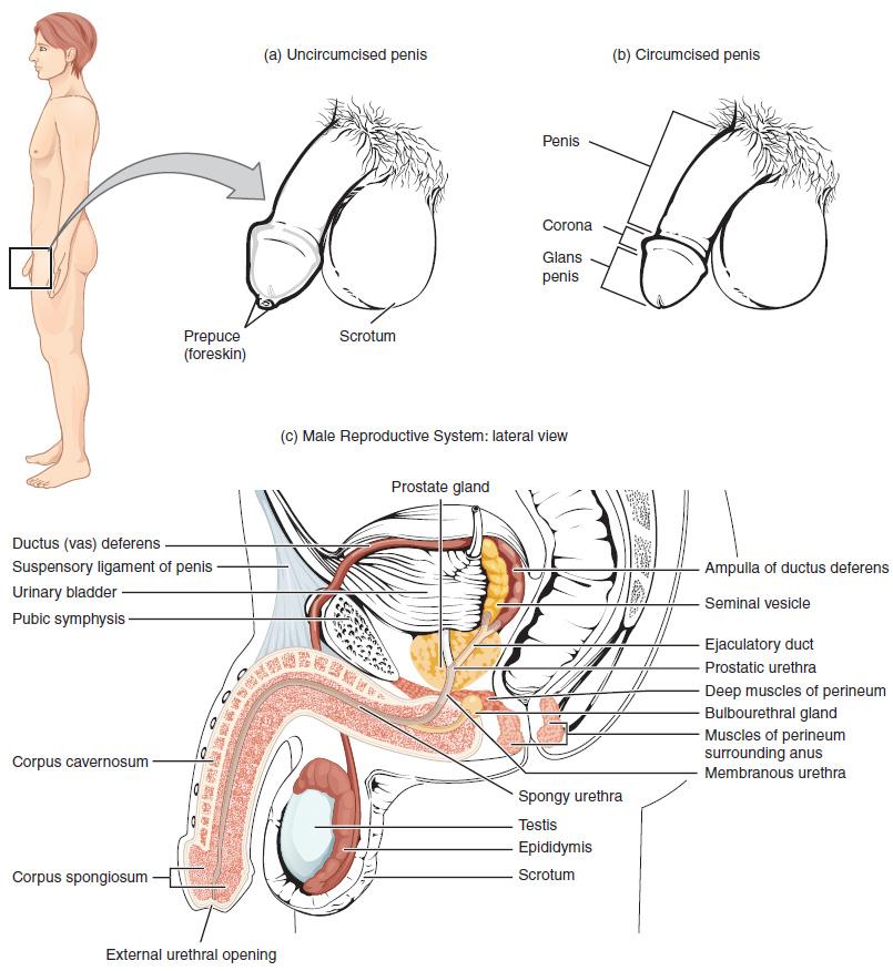 Male production sperm