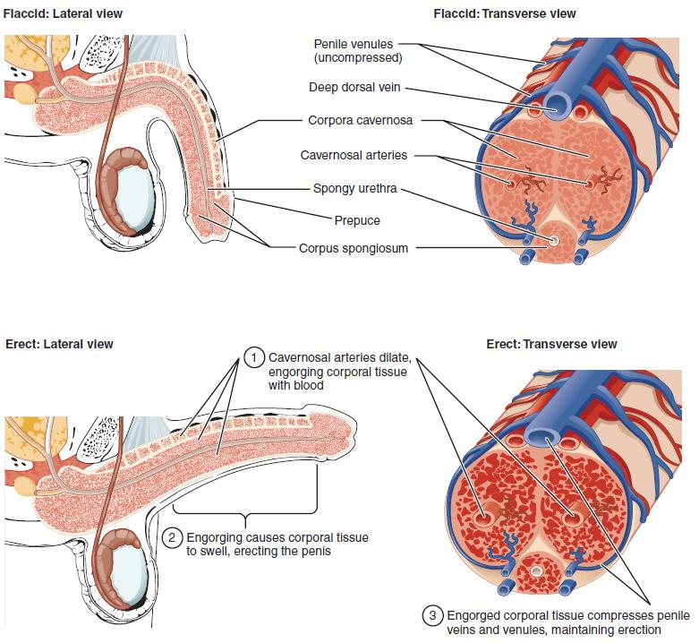 Männliches Urogenitalsystem: Anatomie und Funktion