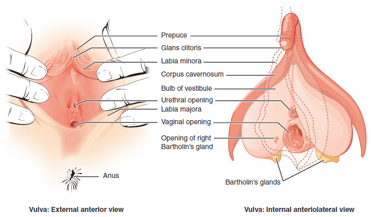 different types of positions sex organ