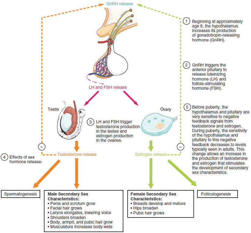 Development of the Male and Female Reproductive Systems · Anatomy ...