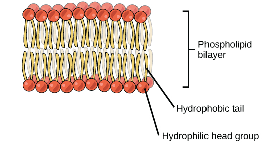 An illustration of a phospholipids bilayer is shown  The phospholipids    Phospholipid Molecule Labeled
