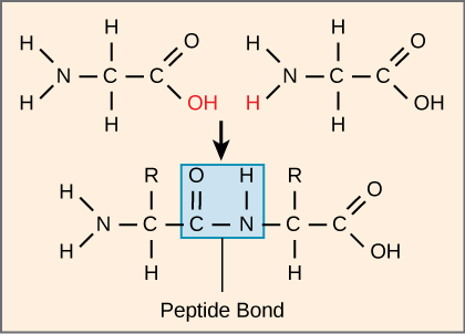 Search  termpeptides  amino acids linked by peptide