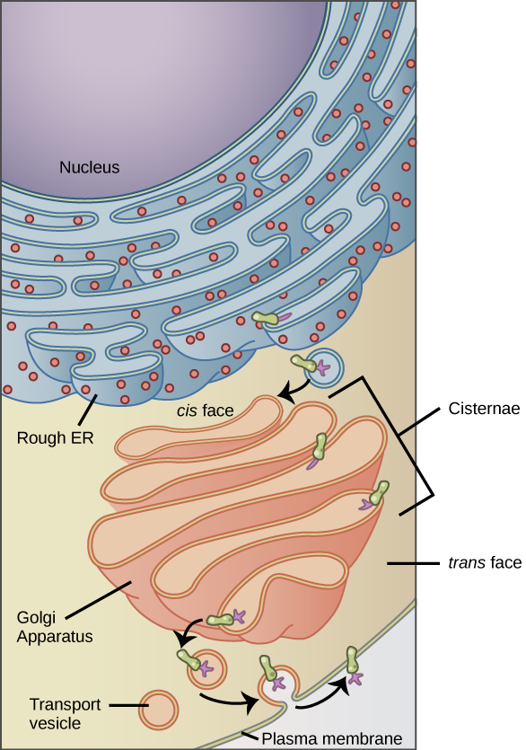 the endomembrane system and proteins biology. Black Bedroom Furniture Sets. Home Design Ideas
