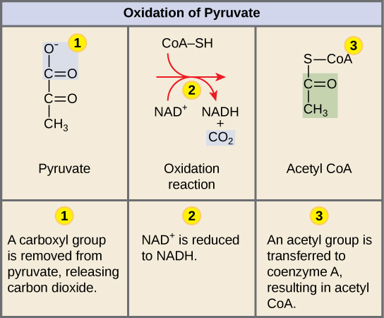 Oxidation of Pyruvate and the Citric Acid Cycle · Biology