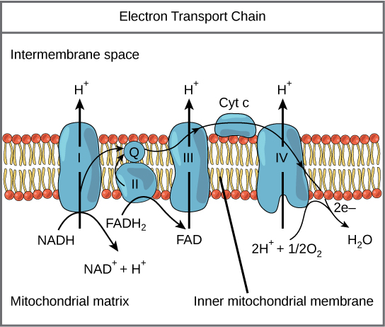 an analysis of the importance of membranes in molecular transport atp systems