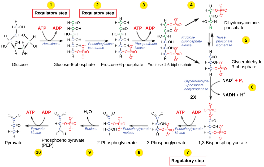 Regulation of cellular respiration biology glycolysis pooptronica Images