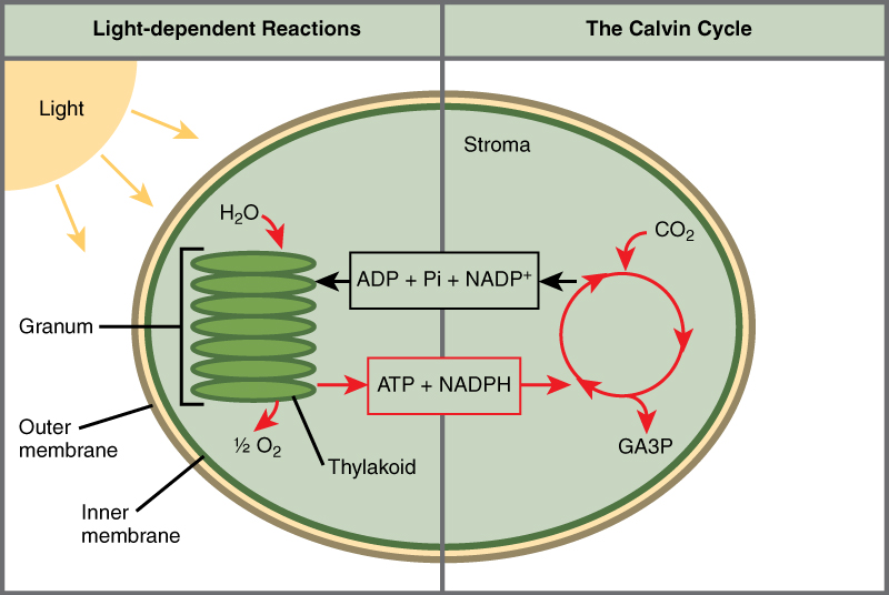 Overview of photosynthesis biology this illustration shows a chloroplast with an outer membrane an inner membrane and stacks photosynthesis ccuart Image collections