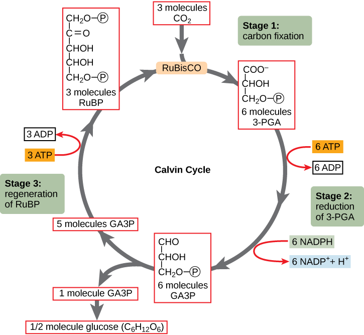 an analysis of the main stages of photosynthesis in organic energy conversion Conversion of light energy to chemical energy chemoheterotrophs obtain energy by oxidizing organic or inorganic compounds and intro to photosynthesis atp.