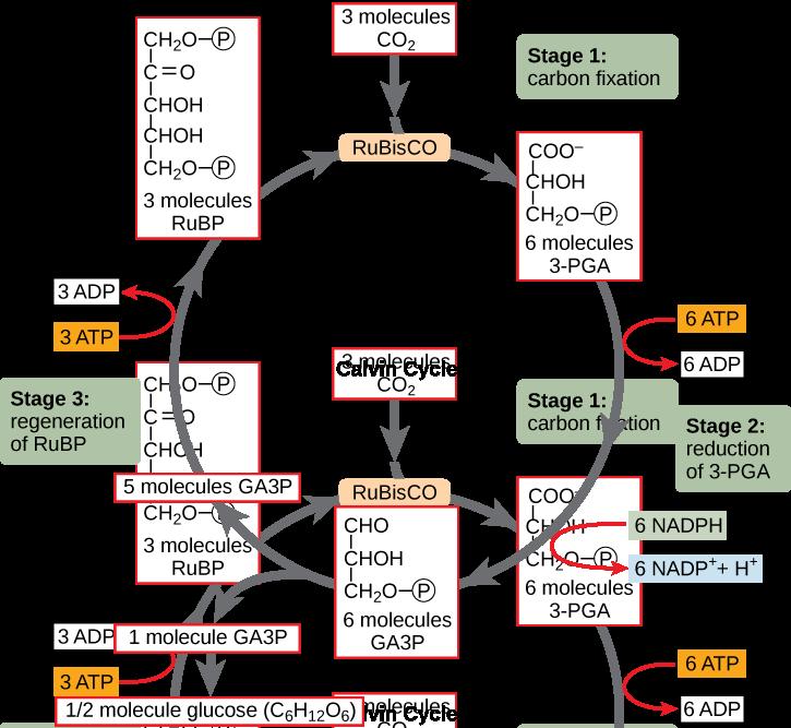 Using Light Energy To Make Organic Molecules Biology