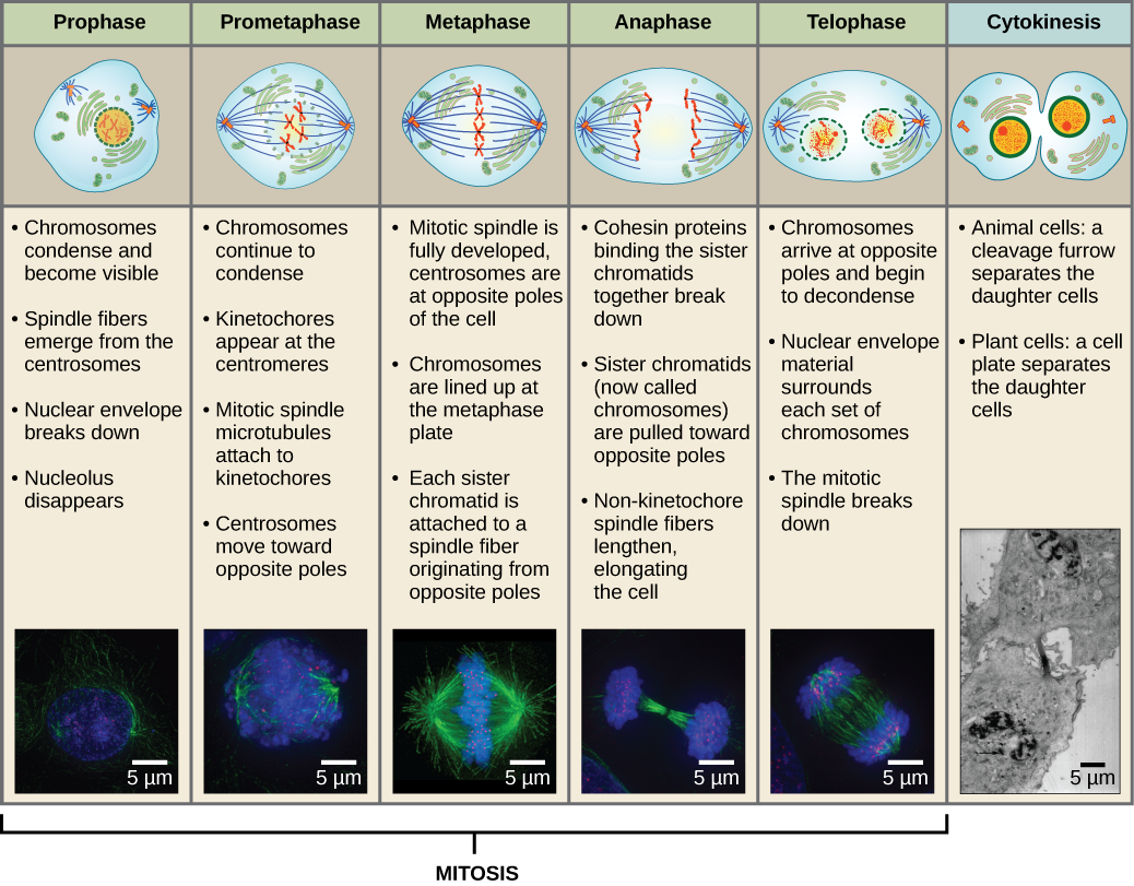 Events Of Mitosis Diagram