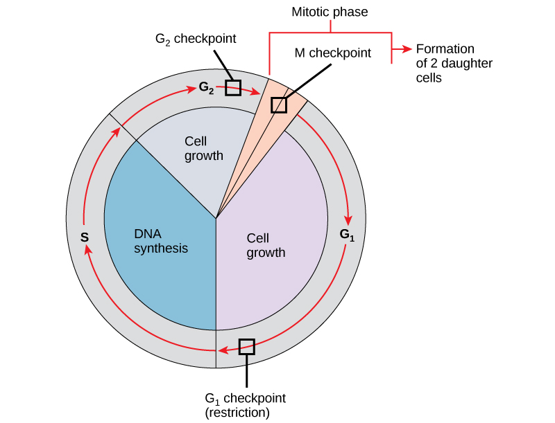 Control of the Cell Cycle · Biology