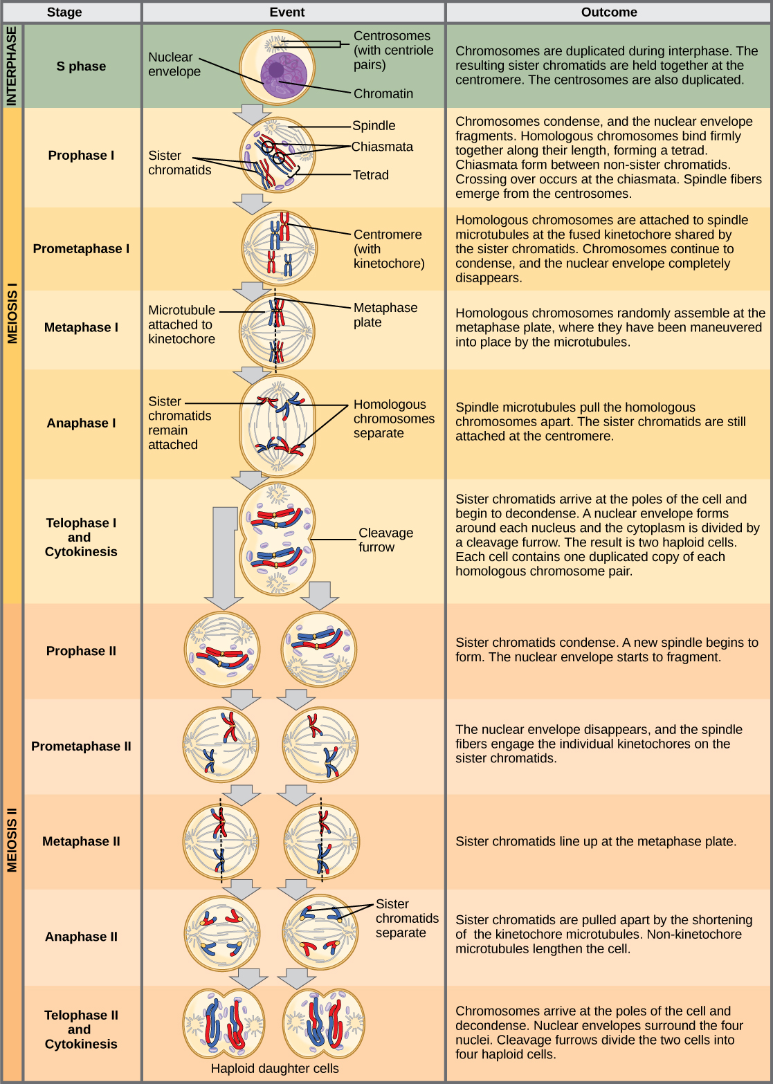 The Process of Meiosis · Biology
