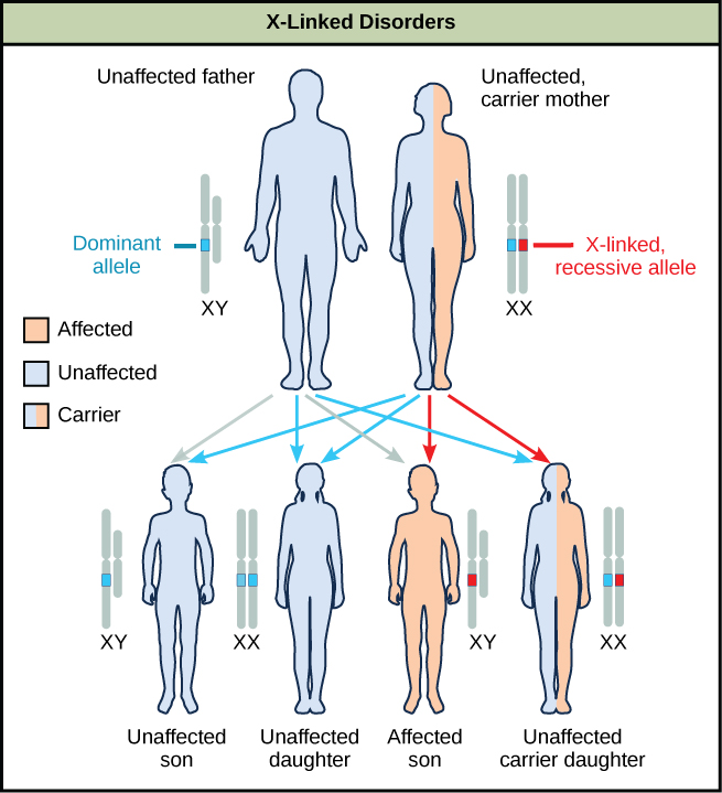 Sexlinked recessive definition