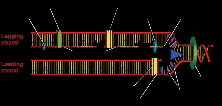 فرایندهای همانندسازی DNA چگونه است؟ faezehya.com