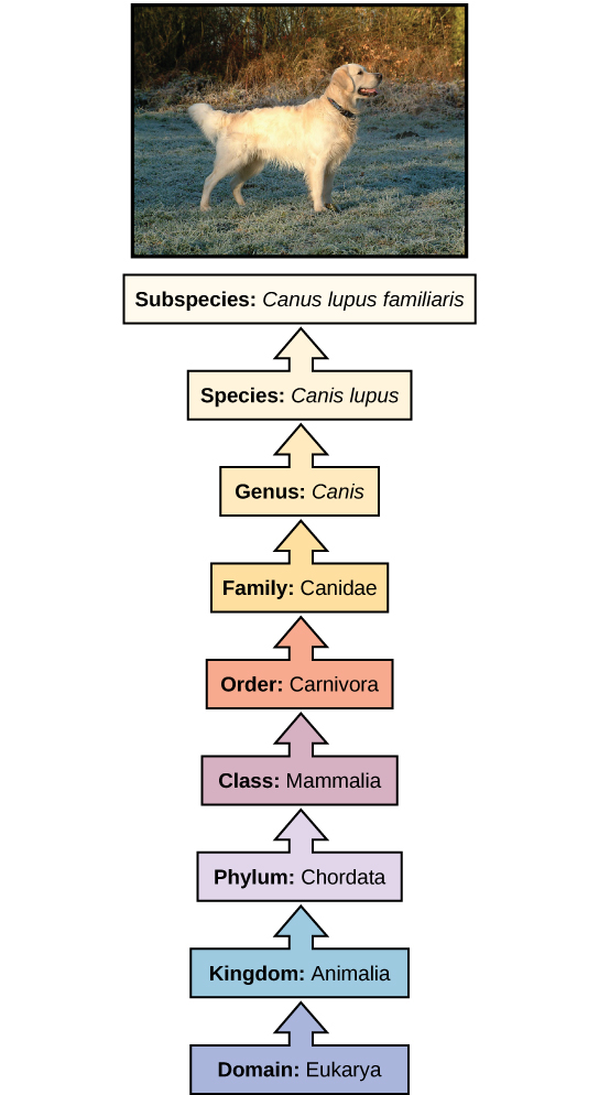 for classification kingdom phylum class order family genus species ...