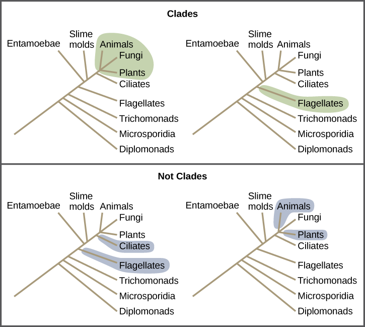Determining evolutionary relationships biology illustrations show a phylogenetic tree that includes eukaryotic species a central line represents the trunk ccuart Choice Image