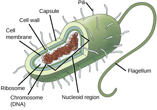 Salmonella Cell Diagram Structure Of A Bacterial Cell Vector