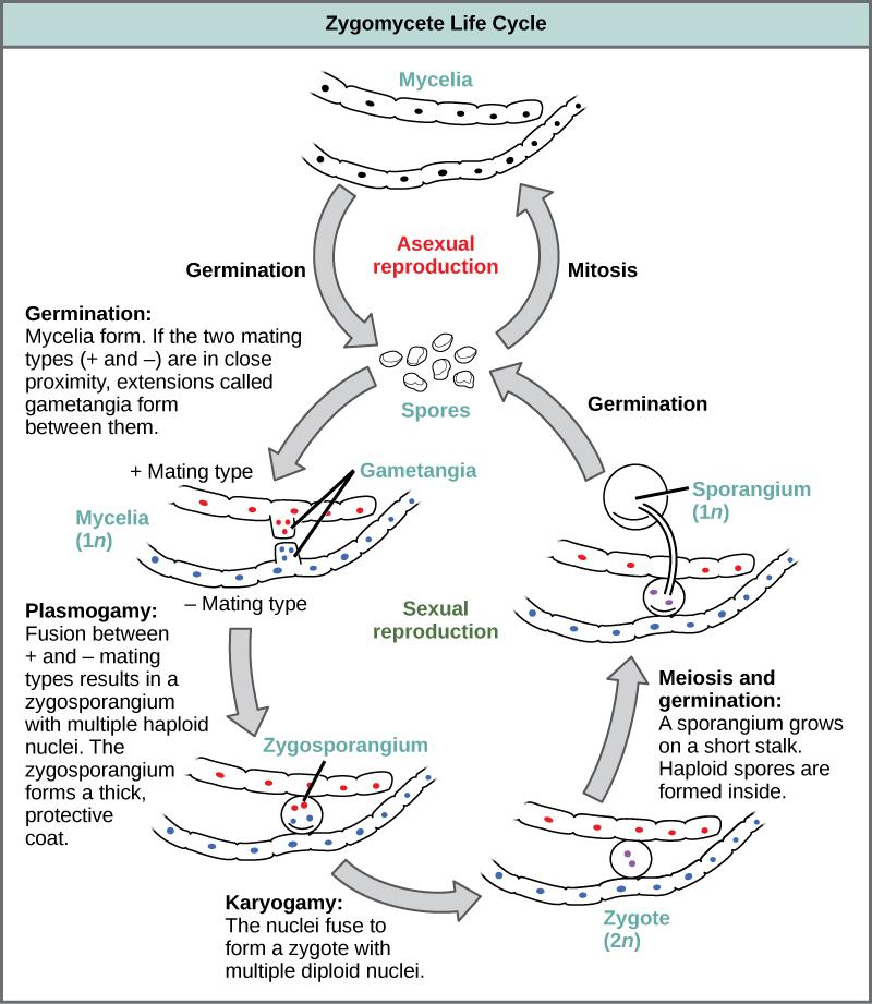 Classifications of Fungi · Biology