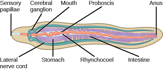 5062275 moreover Human Anatomy Pancreas Location moreover M44665 together with 5777804 furthermore Myenteric plexus. on located in the ventral cavity organs