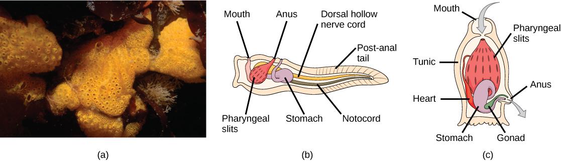 Chordates Biology
