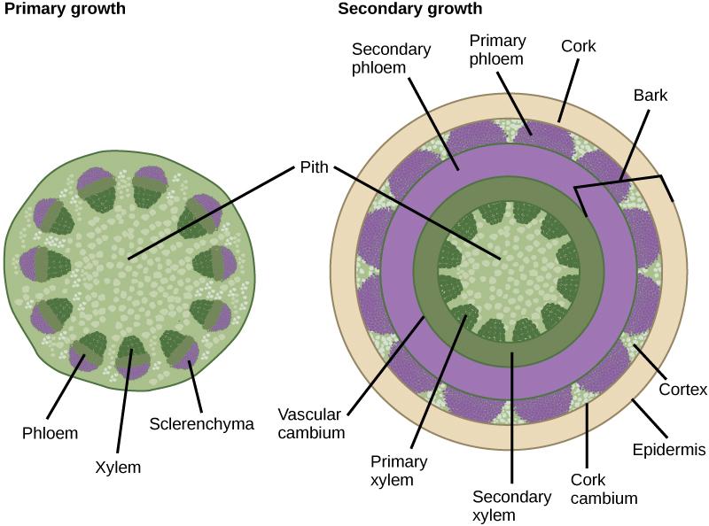 Anatomy Of Stems Botanical Uses