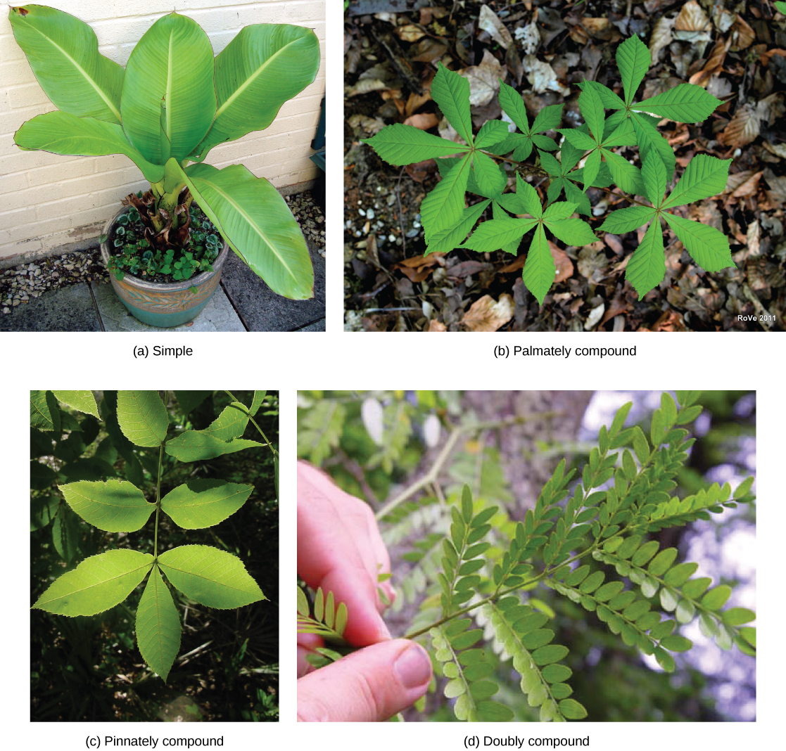 Lilies Types Of Leafs: Leaves · Biology