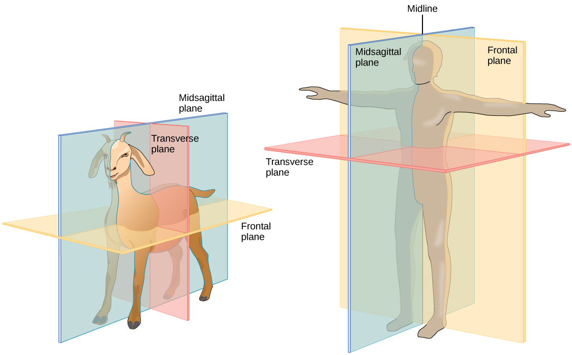 M44730 likewise Stock Illustration Different System Human Body Illustration Image73941423 additionally What Happens Inside Our Ear furthermore Stock Illustration Skull Backbone Human Bony Structure Head Skeleton Which Supports Structures Face Forms Image44728890 likewise Horse Cardiovascular System 2. on illustration of the dorsal body cavity