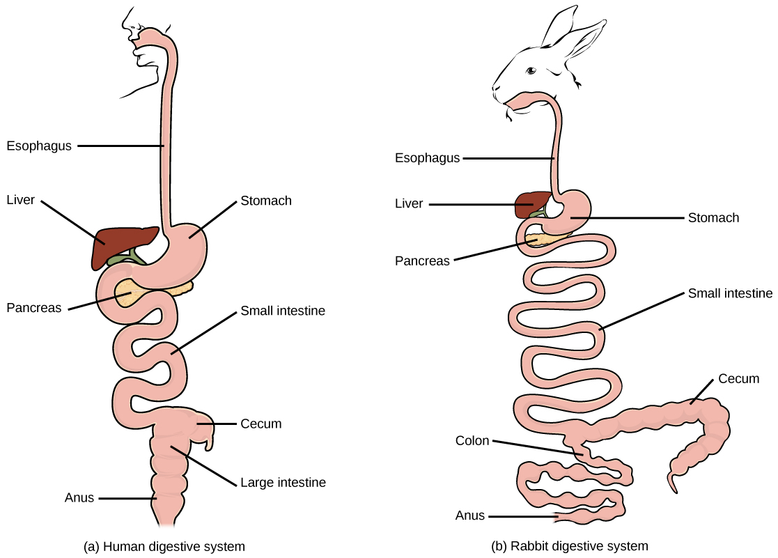 Digestive systems 183 biology