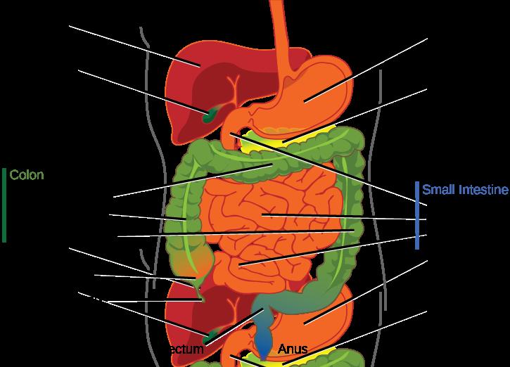 ... ascending colon, the transverse colon and the descending colon