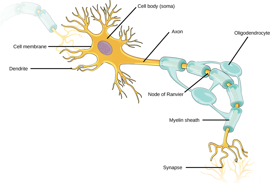 Neurons And Glial Cells Biology