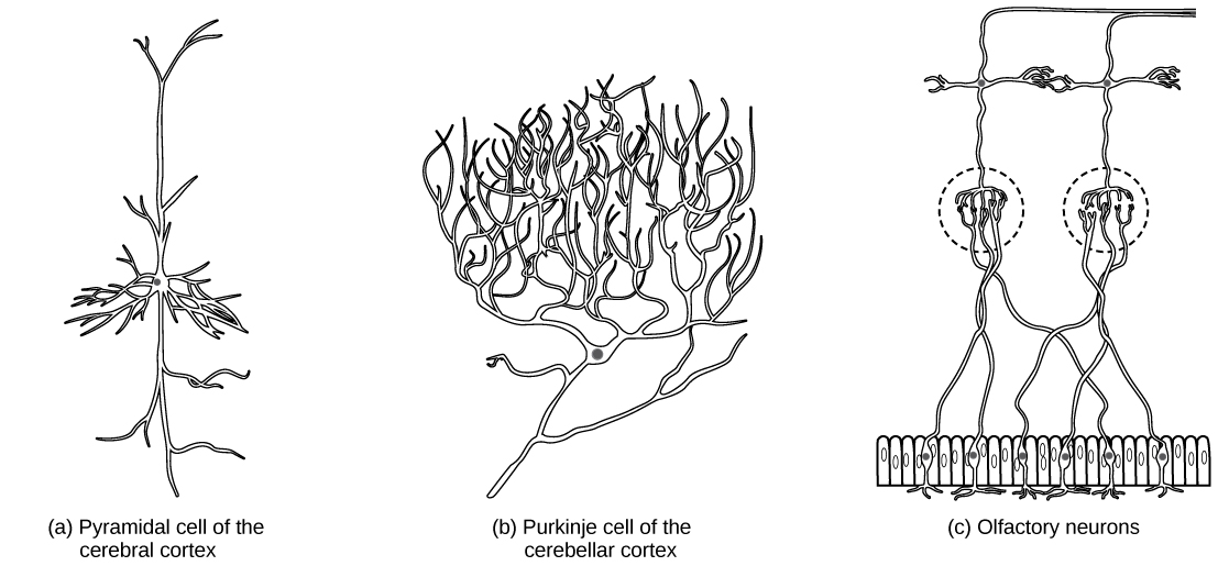 Neurons and glial cells biology part a shows a pyramidal cell with two long branched projections on either end of ccuart Images