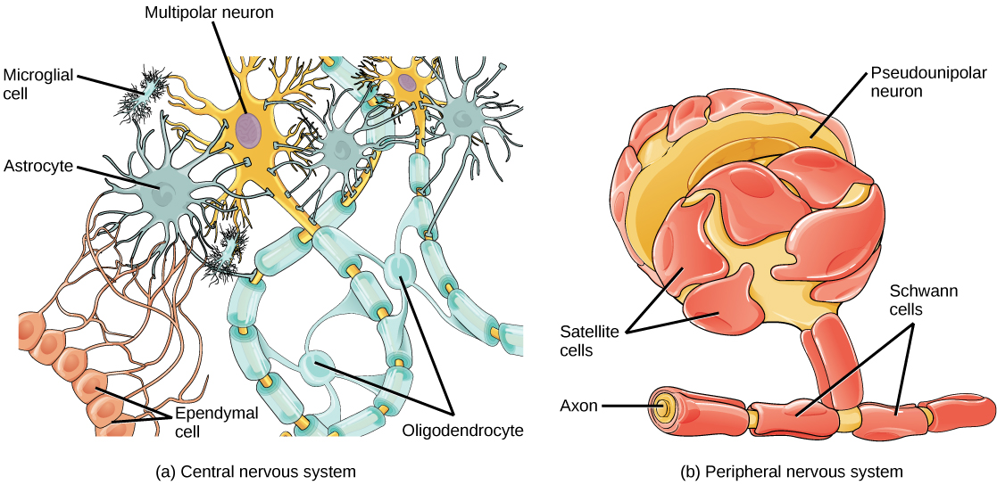Neurons and Glial Cells · Biology