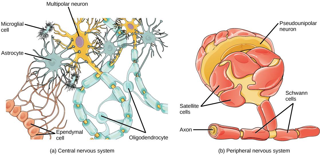 Neurons And Glial Cells  U00b7 Biology