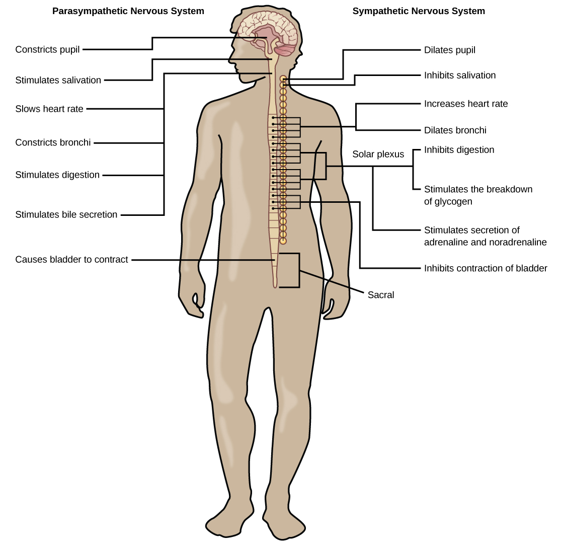 The peripheral nervous system biology the sympathetic and parasympathetic nervous systems often have opposing effects on target organs ccuart Images