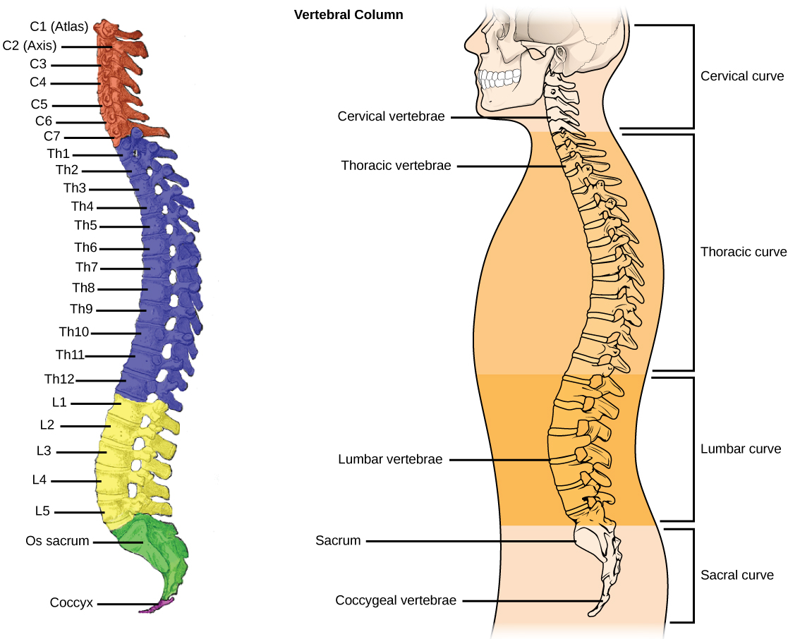 compare and contrast structural and nonstructural curvatures of the spine Functional or structural scoliosis lumbar orthopedic tests / lumbar special tests: includes purpose, procedure, positive sign: kernig's test quadratus lumborum length test scoliosis short leg test scoliosis small hemipelvis test.