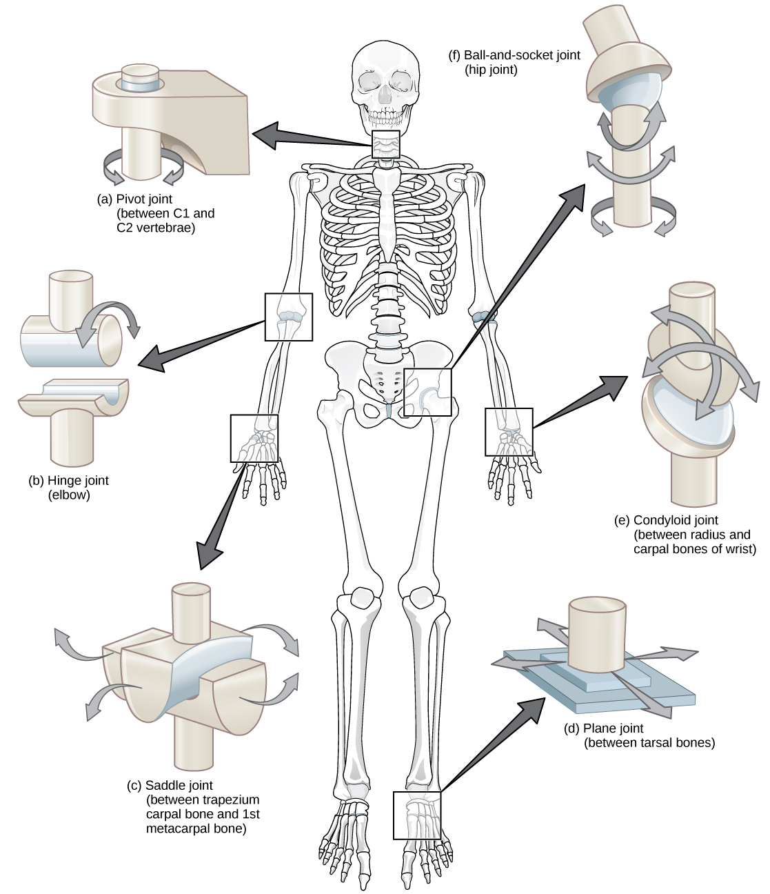 joints and body movement How does classifying joints according to their structure and function help to describe human movement how do muscle attachments affect a joint.