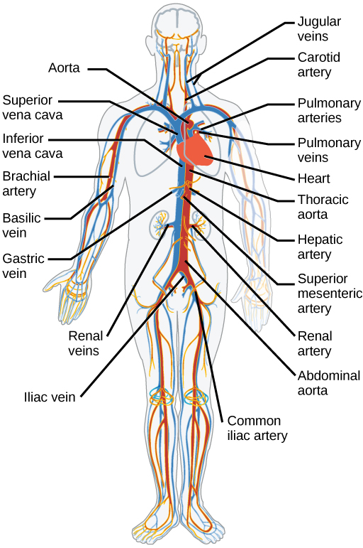Mammalian heart and blood vessels biology the major human arteries and veins are shown credit modification of work by mariana ruiz villareal sciox Image collections