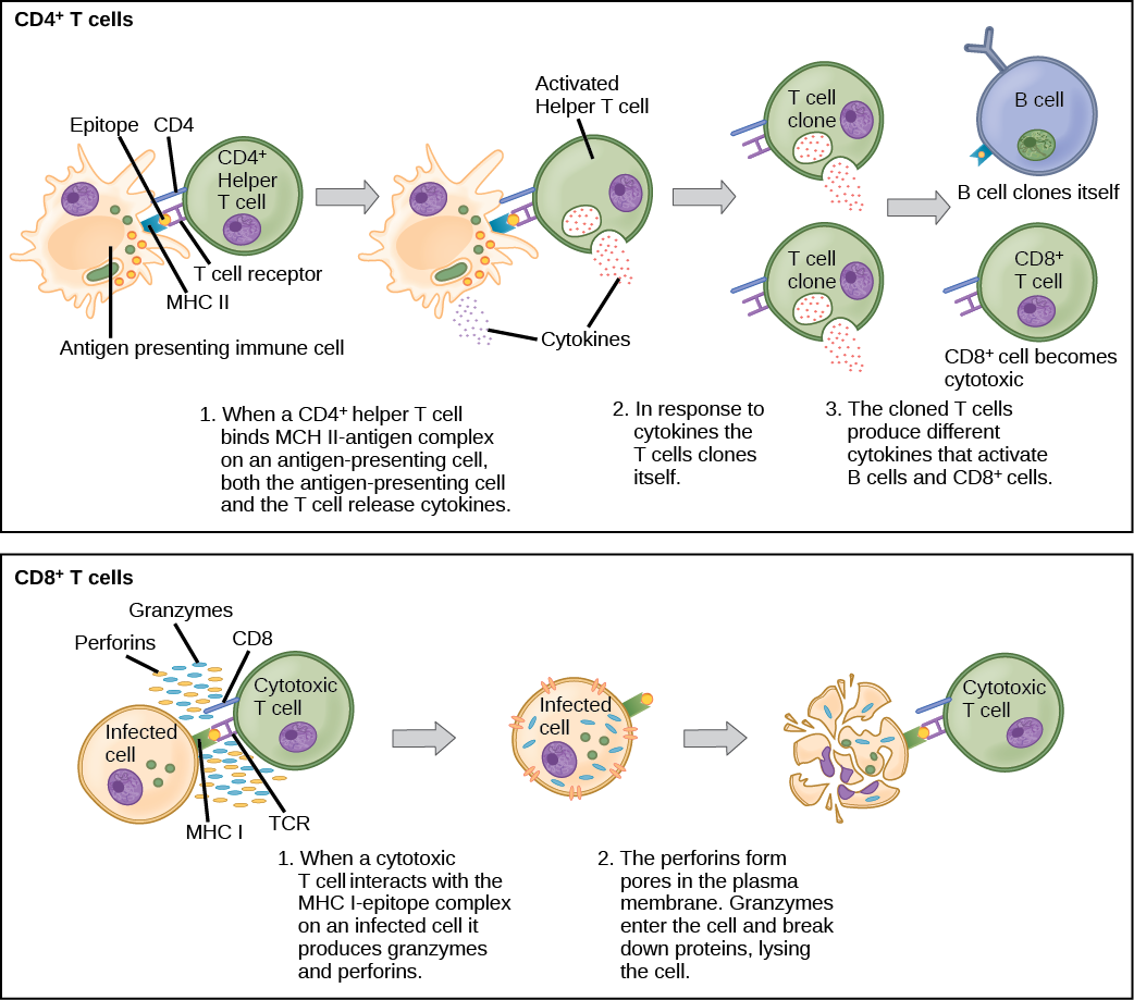 Adaptive Immune Response · Biology