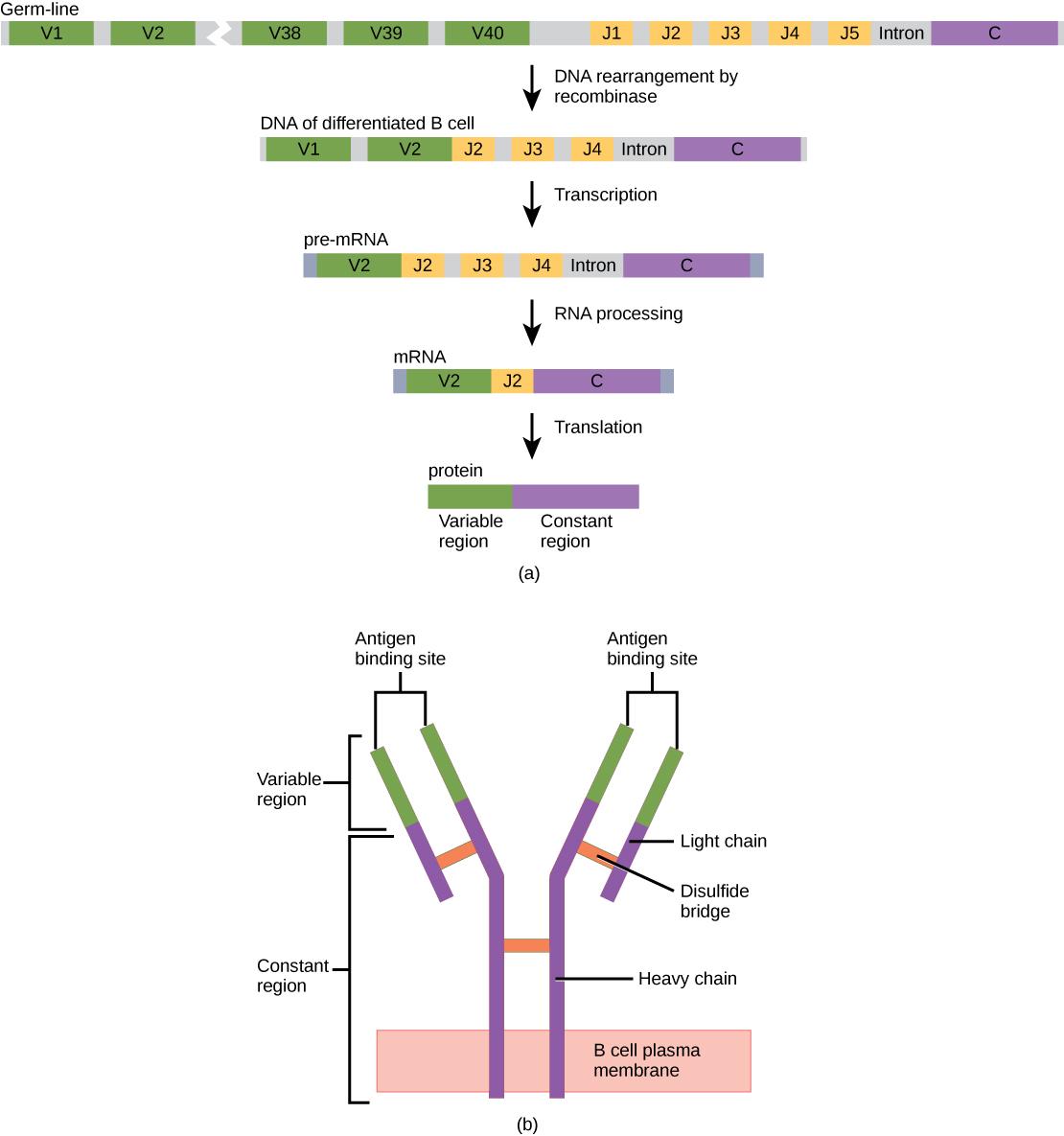Gene Rearrangement B Lymphocyte Light Chain B Cell