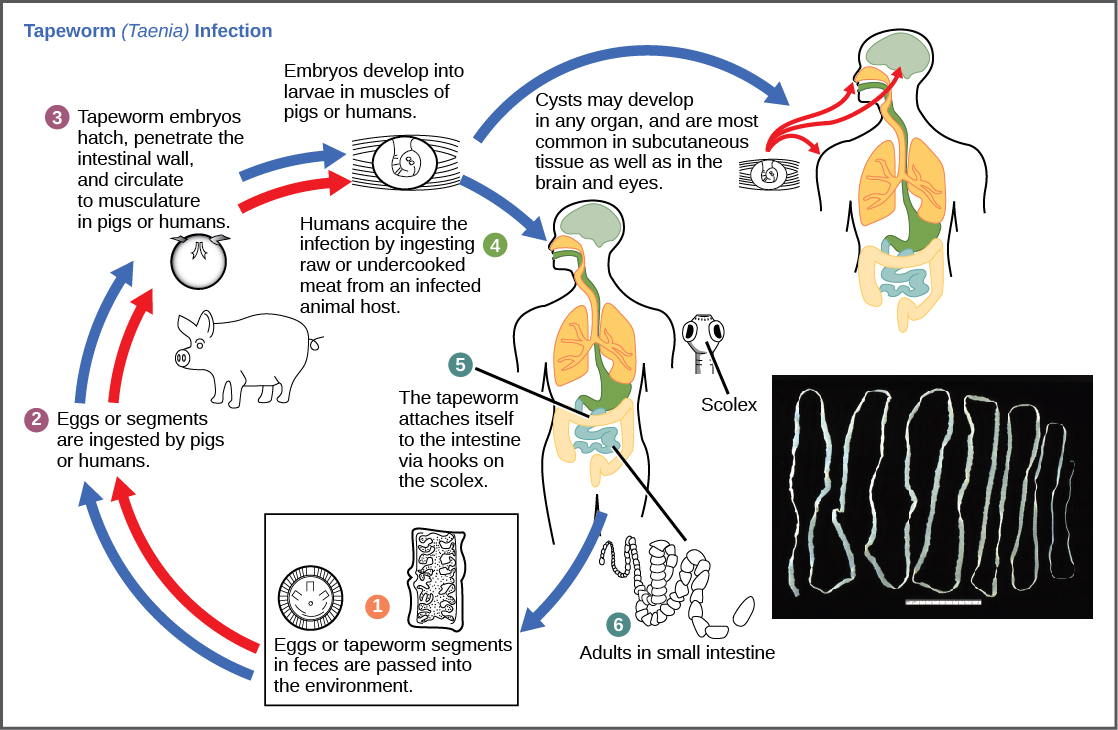 Community ecology biology this diagram shows the life cycle of a pork tapeworm taenia solium a human worm parasite credit modification of work by cdc pooptronica Gallery