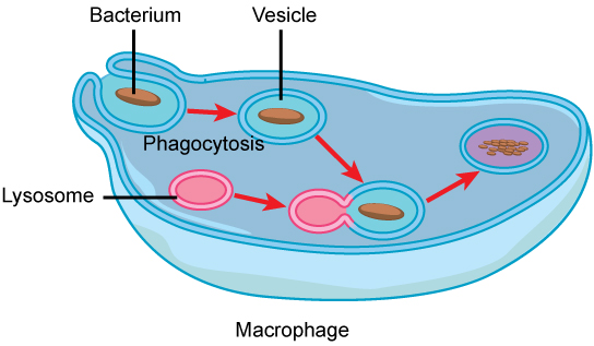 Eukaryotic Cells · Concepts of Biology