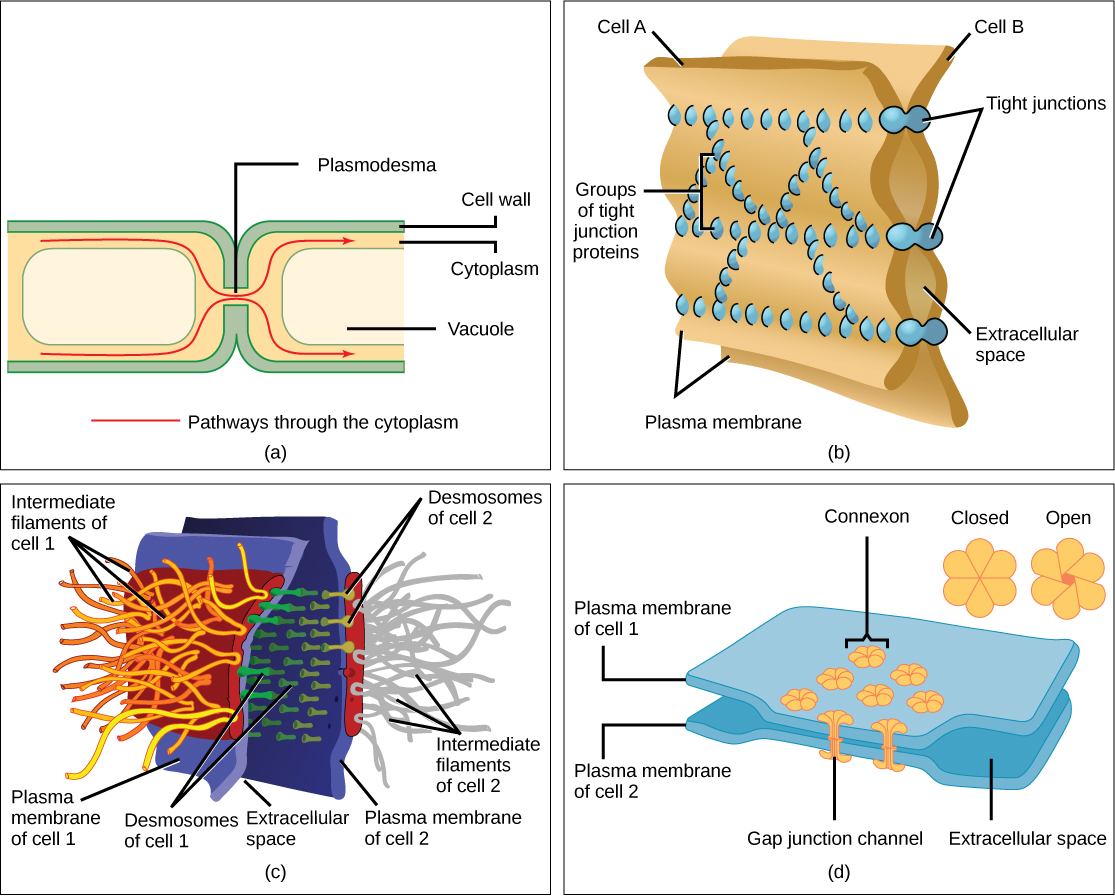 Bacterial adhesin