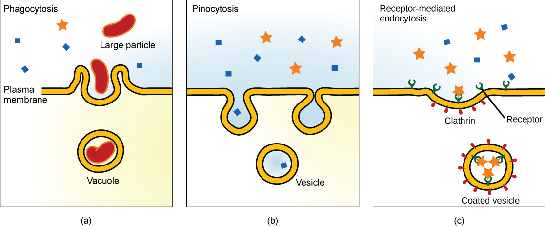 Active transport concepts of biology three types of endocytosis are shown a phagocytosis b pinocytosis ccuart Gallery