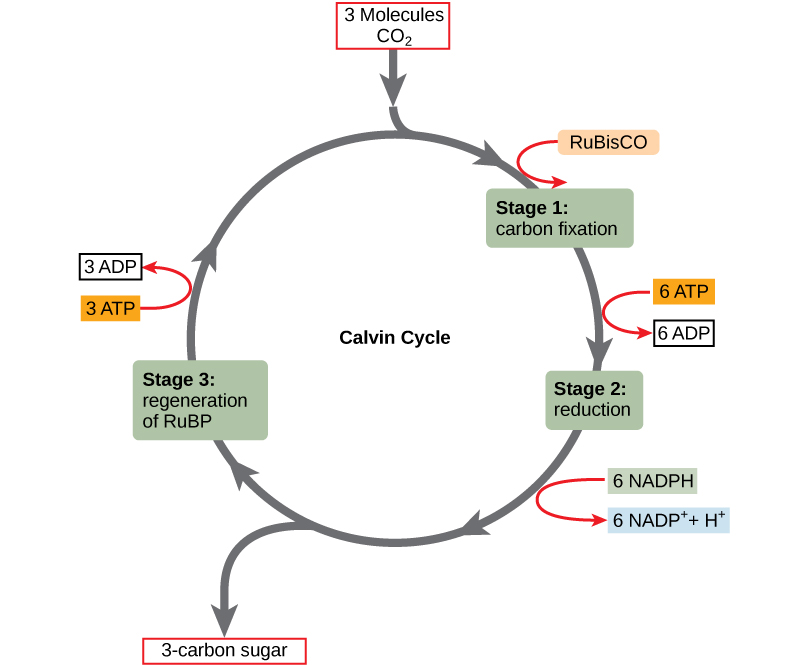 The Calvin Cycle Concepts of Biology – Calvin Cycle Worksheet